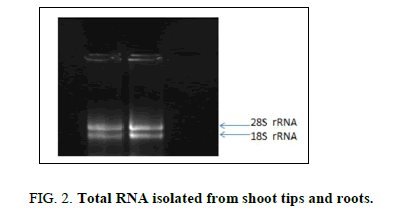 biotechnology-shoot-tips