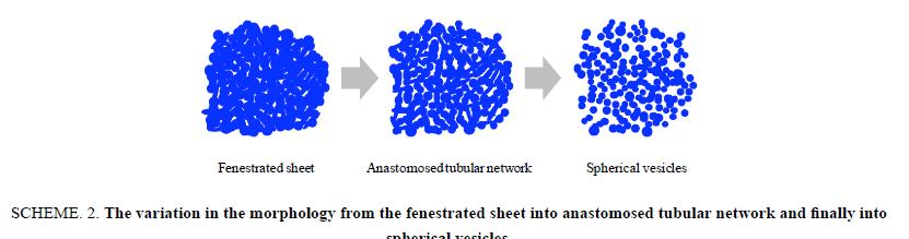 chemxpress-fenestrated-sheet-anastomosed-tubular-network